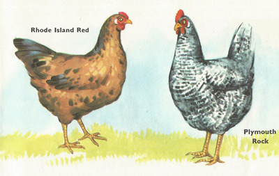 Rohde Island Red and Plymouth Rock