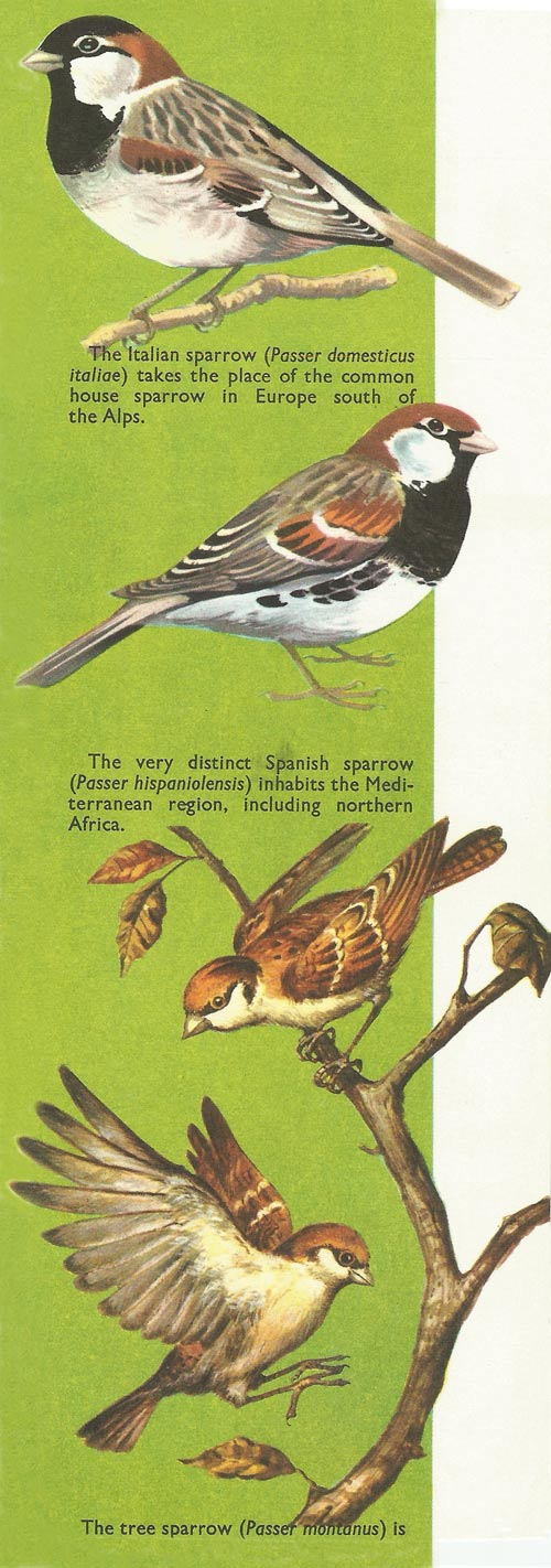types of sparrow