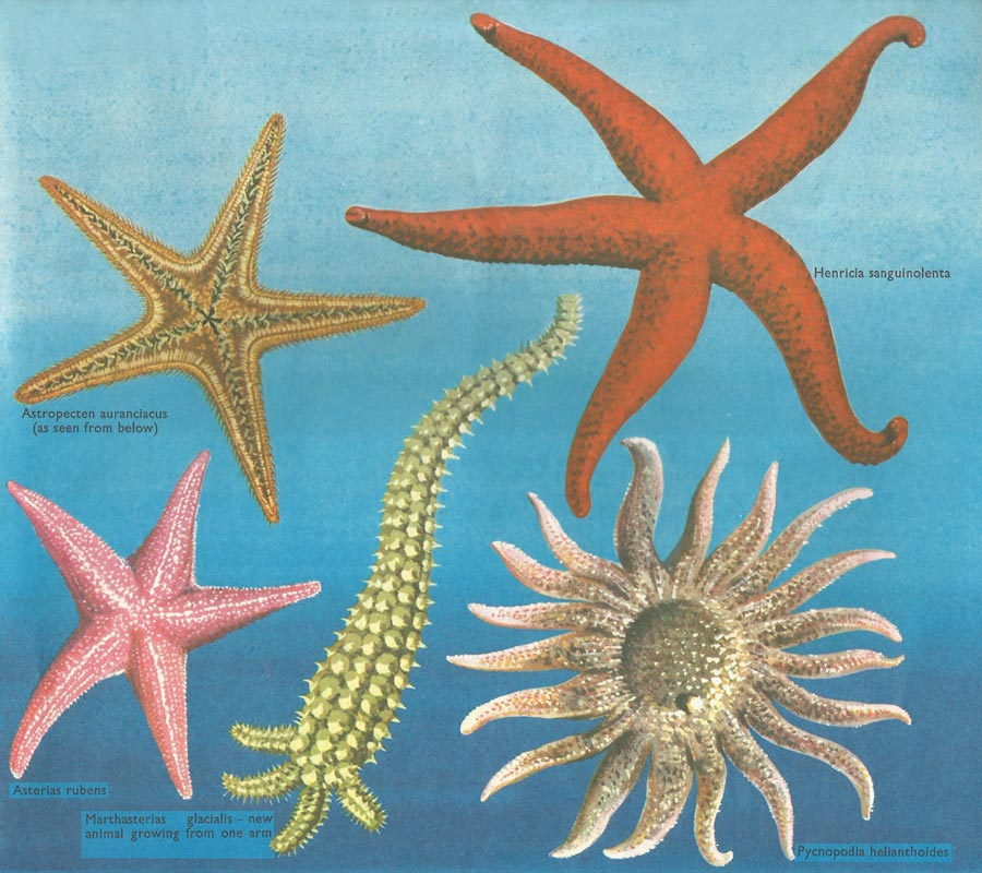 Several types of starfish. Note: illustration is not to scale.