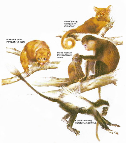 lower and higher forms of primate