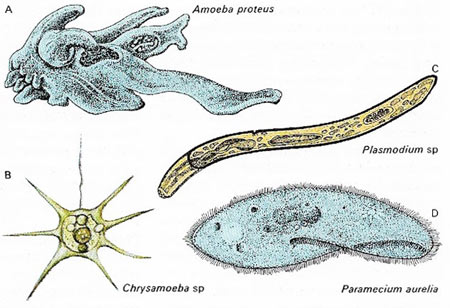classes of a protozoan