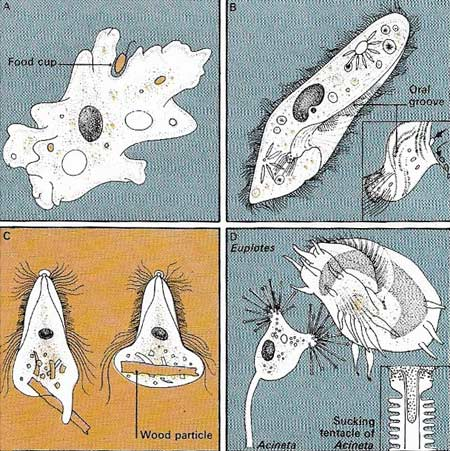 forms of protozoan feeding