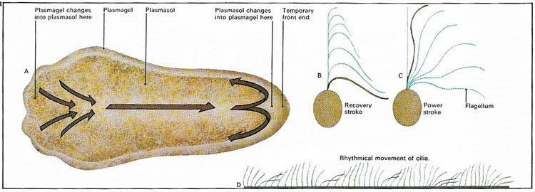 protozoan forms of movement